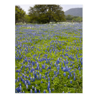 Hill Country, Texas, Bluebonnets and Oak tree Postcard