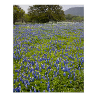 Hill Country, Texas, Bluebonnets and Oak tree Poster
