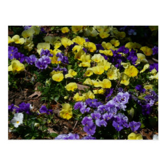Hillside of Purple and Yellow Pansies Postcard