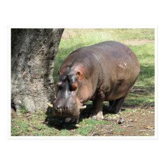 hippo stand postcard