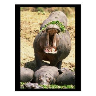 Hippo Yell Postcard