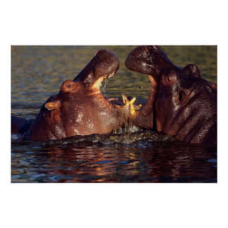 Hippopotamus (Hippopotamus Amphibius) Bulls Poster