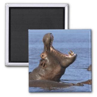 Hippopotamus (Hippopotamus amphibius) in the Square Magnet