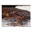 Hippopotamus, Hippopotamus amphibius, Lake Postcard