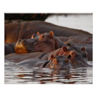 Hippopotamus, Hippopotamus amphibius, Lake Poster
