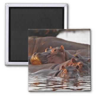Hippopotamus, Hippopotamus amphibius, Lake Square Magnet