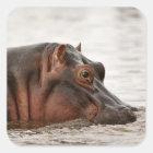 Hippopotamus, Hippopotamus amphibius, Lake Square Sticker