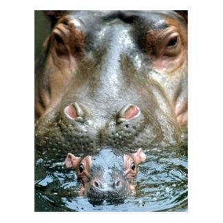 Hippopotamuses and Baby Postcard