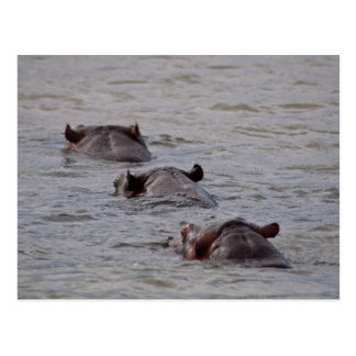 Hippos Go For a Swim Postcard