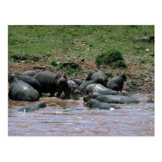 Hippos - In River Postcard