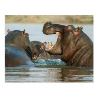 Hippos in Water Postcard