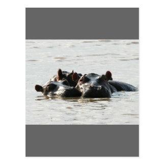 Hippos Postcard