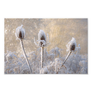 Hoarfrost Teasels Winter Scenic Nature  Paperprint Photo Print