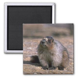 Hoary Marmot Magnet