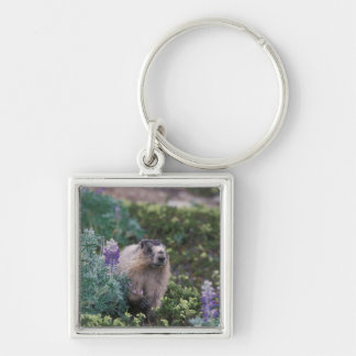 hoary marmot, Marmota caligata, feeding on silky Silver-Colored Square Keychain