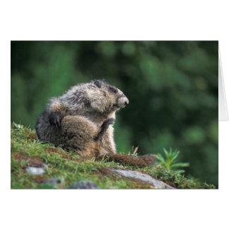 hoary marmot, Marmota caligata, scratches Card