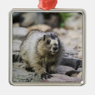 Hoary Marmot, Marmota caligata, young with Silver-Colored Square Ornament
