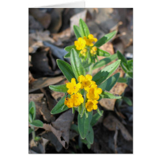 Hoary Puccoon Card