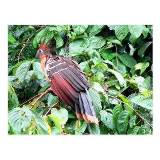"Hoatzin ""Stinky Turkey""  Pastaza River, Ecuadorean Postcard"