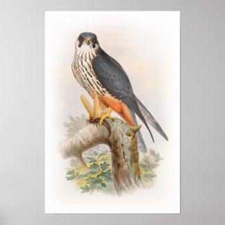 Hobby Falcon John Gould Birds of Great Britain Poster