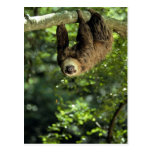 Hoffmann's two-toed sloth postcard