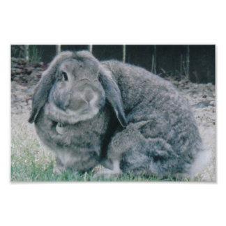 Holland Lop Rabbit Poster