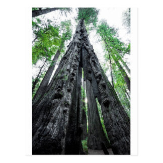 Hollow Redwood Postcard