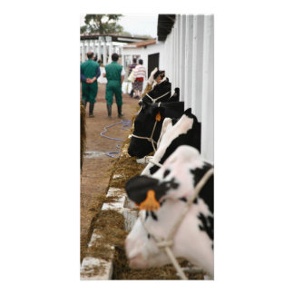 Holstein cattle show personalized photo card