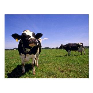 Holstein Dairy Cattle Postcard
