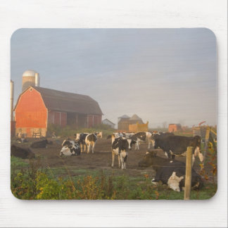 Holstein dairy cows outside a barn at sunrise mouse pad