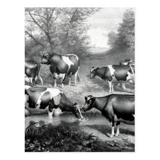 Holstein fresian cows fresian cows postcard