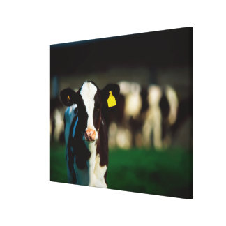 Holstein-Friesian calf Canvas Print