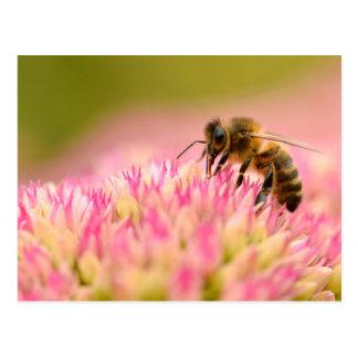 Honey bee feeding on sedum flower postcard