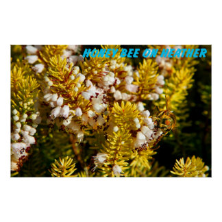 honey bee on heather poster