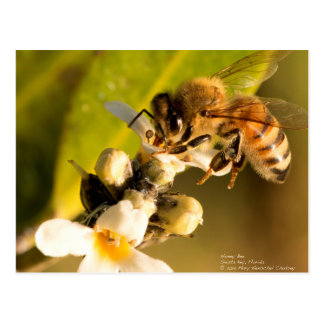 Honey Bee on Mangrove Blossom Postcard