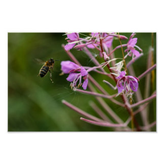 Honey bee visiting rosebay willowherb print
