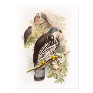 Honey-Buzzard John Gould Birds of Great Britain Postcard