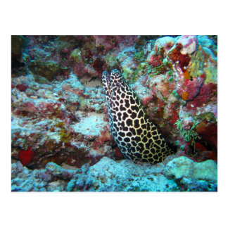 Honeycomb Moray Eel Peeking Out from Coral Postcard