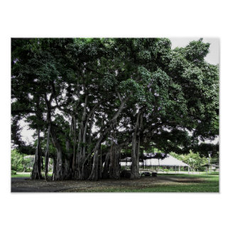 Honolulu Banyan Tree Poster