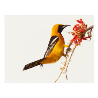Hooded Oriole Postcard