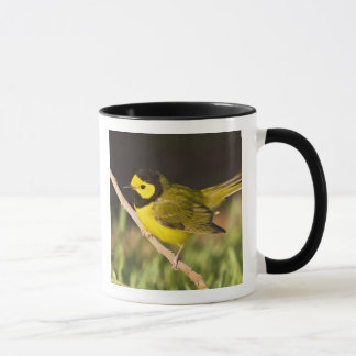 Hooded Warbler Wilsonia citrina) adult, male, Mug