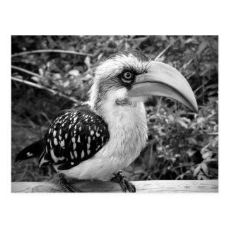 Hornbill bird close up looking at camera bw postcard