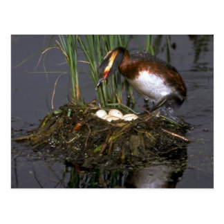 Horned Grebe with eggs Postcard
