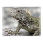 Horned Iguana Postcard