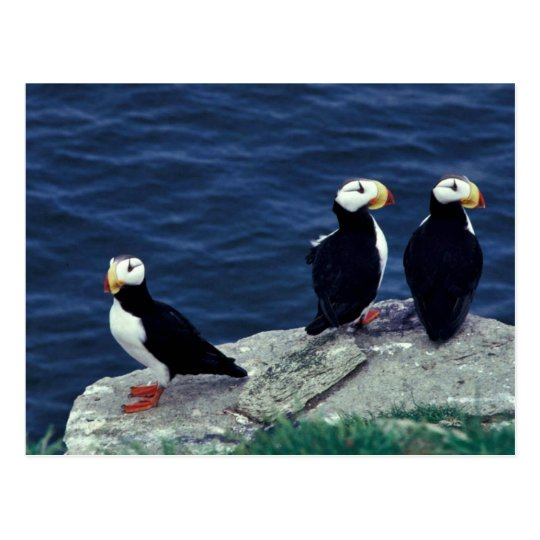 Horned Puffin Trio Postcard