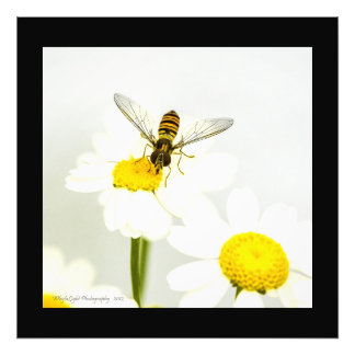 Hornet On Daisy Photo Print