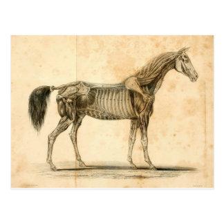 Horse Anatomy Postcard I