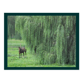 Horse and a Willow Postcard