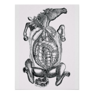 Horse Belly Anatomical Art Poster