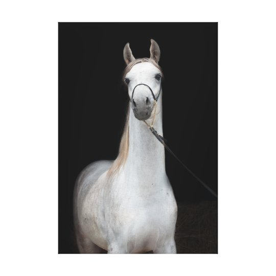 horse collection. arabian white canvas print